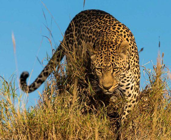leopard_1_0