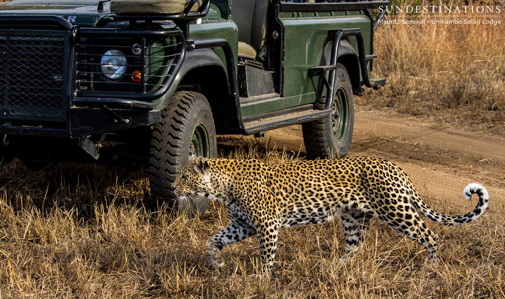 leopardo_umkumbe