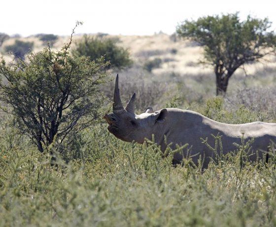 palmwag_rhino