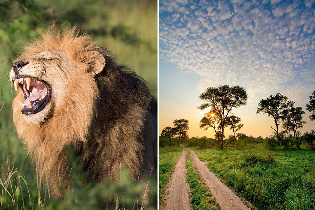 manyeleti-lion-road-kruger