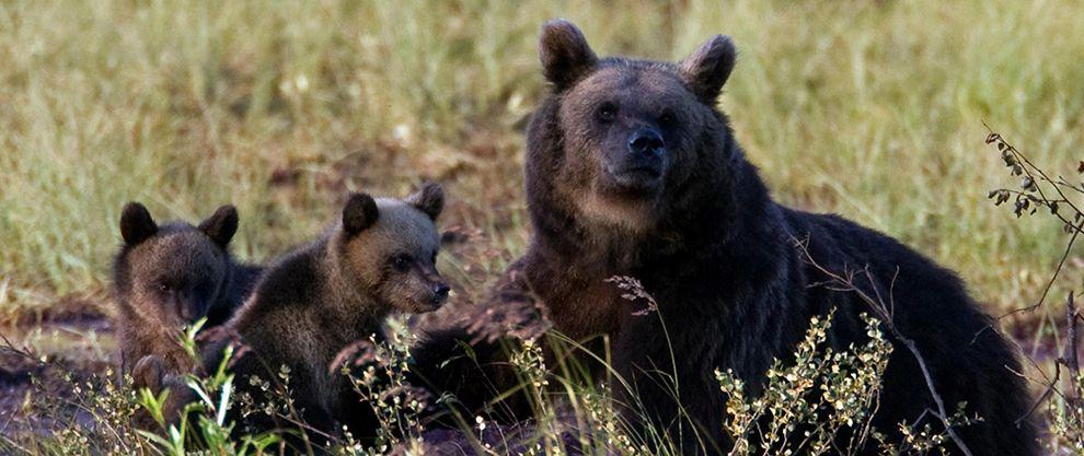 bears finlandia
